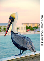 Pelican - A pelican sits on the railing of the pier at Ft...