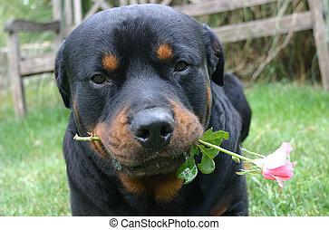 cute rottweiler - purebreed rottweiler and a flower
