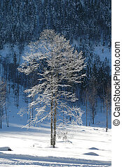 baren tree in freeze 3 - frozen beech in the Gernab Alps in...
