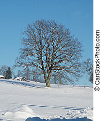 linden tree in winter - linden tree, Tilia platiphyllos, in...