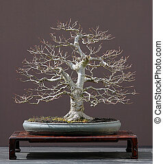 linden tree bonsai - linden tree (lime tree), Tila...