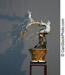 hawthorn cascade bonsai in winter - European hawthorn,...