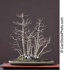 field elm bonsai in winter - European field maple, Acer...