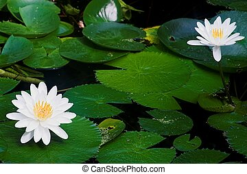 water lillies - intensely colored shot of water lillies and...