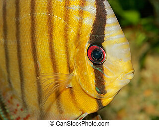 Discus fish - Close-up, underwater view of a colorful discus...