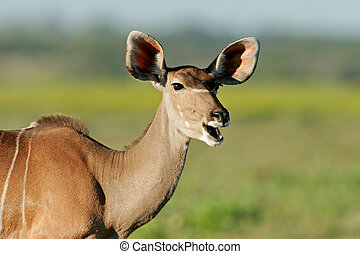 Kudu antelope - Portrait of a female Kudu antelope,...