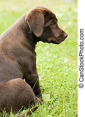 Sheepish pup - Sheepish expression of chocolate lab pup