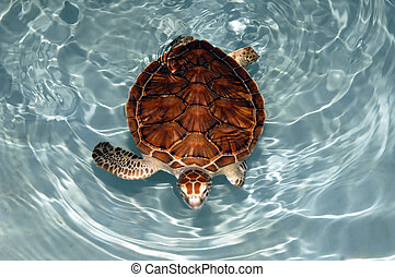 Mexican Turtle - A Mexican turtle under turquiose water
