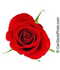 Red rose blossom isolated on white background with dew drops