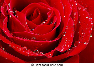 Red rose - Extreme macro image of a red rose petals with dew...
