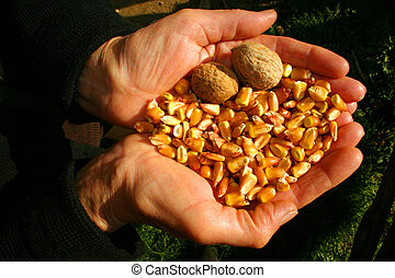 Hands - Corn and walnuts on the hands