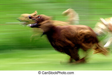 Running Dog - A panned image of an Irish Setter running at...