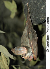 hanging bat - grey bat hanging down with open eyes, leaves...