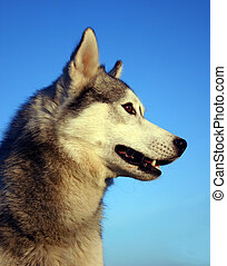 head of husky - purebreed siberian husky on blue sky