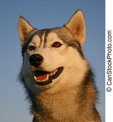 happy husky - head of purebreed siberian husky