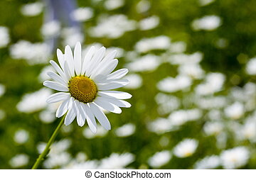 camomile - field of camomile