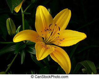 Hi, Lilly... - Yellow tiger lilly in full bloom, with...