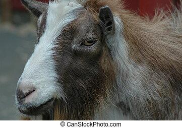 Dwarf Nigerian Goat portrait