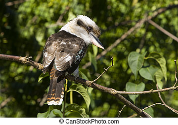 Kookaburra sitting on a branch