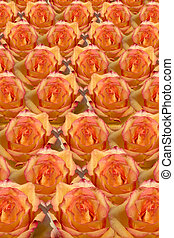 Rosy Background - a background of yellow roses