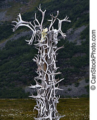 Reindeer antlers collection - Collection of reindeer antlers...