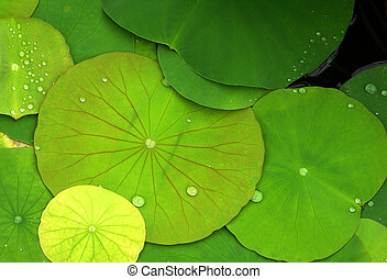 Green lily pads - close up of green lily pads with dew drops