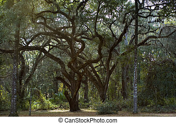 Twisted Live Oaks - Ancient live oaks with twisted limbs.