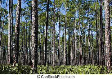 Pines and Saw Palmettos - Planted pines and a saw palmetto...