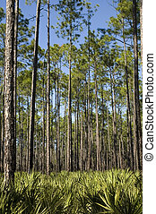 Palms and Saw Palmettos - Planted pines and a saw palmetto...