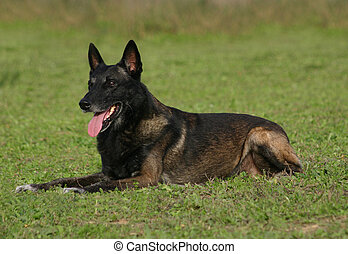 malinois laid down - purebred belgian shepherd laid down in...