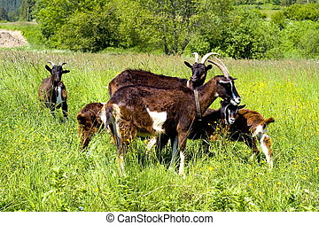goats on a meadow