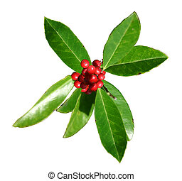 Christmas Holly - Sprig of green American Holly leaves and...