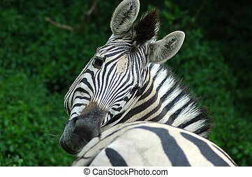 Zebra - A Zebra head portrait while scratching and looking...
