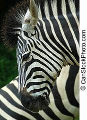 Zebra head profile - A Zebra head profile in a game reserve...