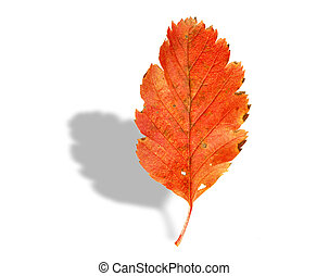 fall leaf with shadow on white