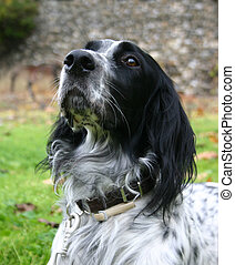 english setter - purebreed english setter: attentive hunting...