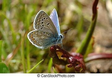 Plebeius argus - Silver studded blue plebeius argus