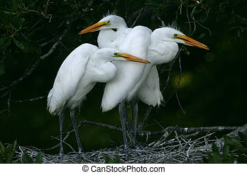 egret chicks - great white egret chicks