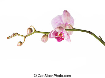 orchid pink - beautiful pink orchid - phalaenopsis, on white...