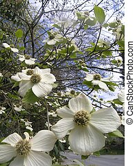dogwoods in glory - the dogwoods of bc are spectacular in...