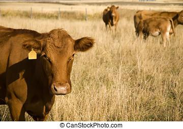 Bovine milk cow in a field.