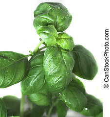 basil - background, basil, botanical, botany, cooking,...