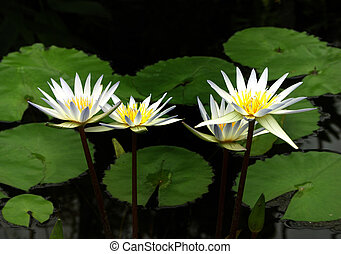 3 White Water Lilies - three white and yellow lilies in pond
