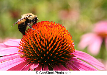 Bee on Echinacea Flower During a Summer Day
