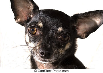 Black Chihuahua - An adorable black chihuahua, isolated on...