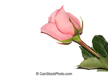 Pink Rose - Single pink rose isolated on white background