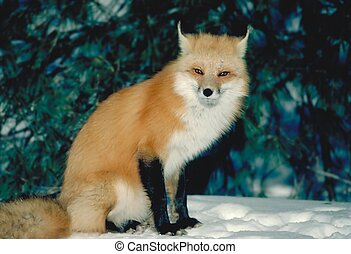 red fox4 - taken in killarney ontario