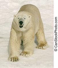is this okay - polar bear in cochrane ont