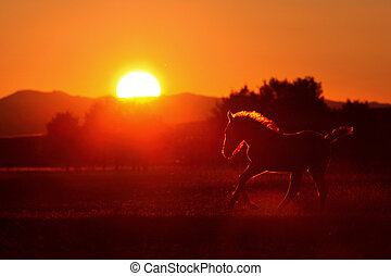 horse silhouette - young horse playing on sunset