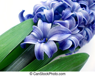 blue hyacinth - Close-up of blue hyacinth on white...